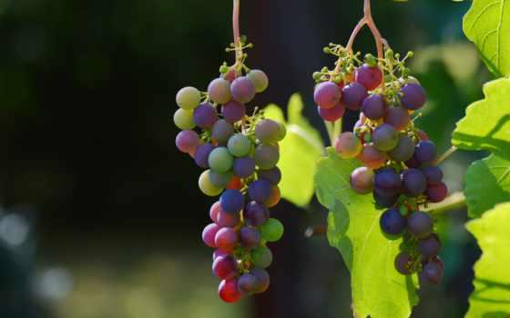 ягоды, виноград, новости, browse, помеченные, десерт, chocolate, лоза,
