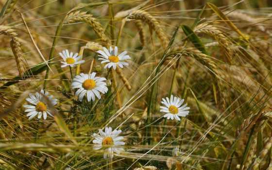 ромашки, цветы, краю, берёзовом, пшеницы, купить, cvety, ромашка,