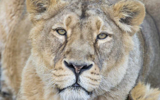 взгляд, львица