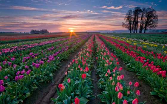 fields, tulip, sunset, nature, flowery, flowers, spring, field, summer, farm, colorful, town, love, растения, именно,