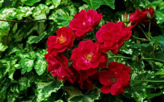цветы, цветов, пионы, красные, лепестки, красивые, букет, ваза, стебель,