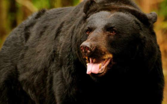 медведи, медведь, медведей, медведя, world, медвежий, black, барибал, черных,