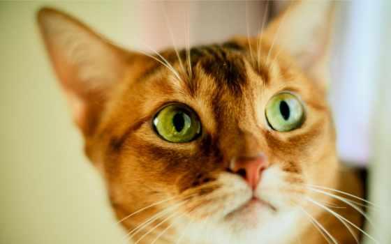 глазами, кот, зелёными, рыжая, ани, коты,