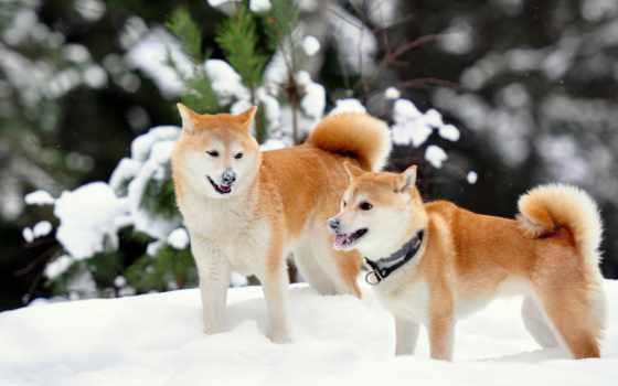 акита, собаки, собака, породы, собак, оптом,