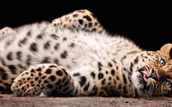 леопард, лежит, леопарды, abdomen, разных, спине, пушистик, разрешениях, найти, красивые,