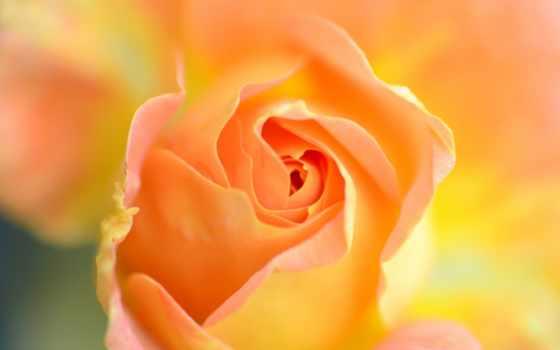 роза, макро, лучшая, загружено, страница, уже, коллекция,