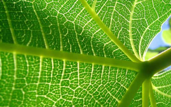 листь, лист, зелёный, cells, зелень, you, листва, макро, švihadlo,