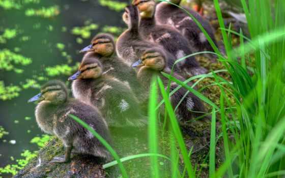 ducklings, пруд, оригинал, parken, sweden, animal, утка,