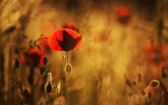 красные, рисунки, маки, поле, макро, everything, cvety, размытость,