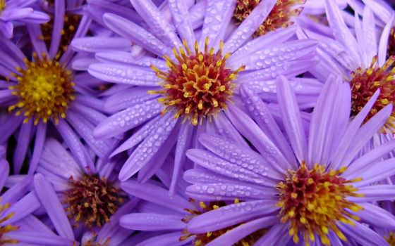 цветы, сиреневые, каплях