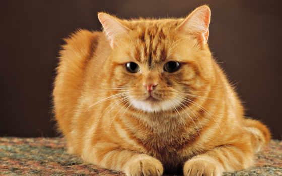 рыжий, kot, кот