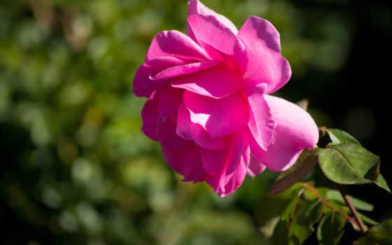 роза, цветы, фотографий