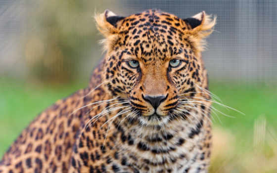 wildcat, wild, кот, free, desktop,
