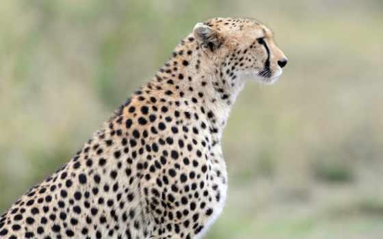 гепард, profile, кот, дикая, хищник, морда, gepard, плакат, zhivotnye,
