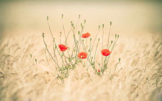 маки, поле, природа, красные,