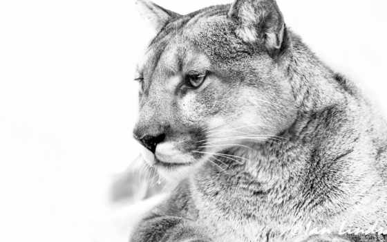 чб, white, lion