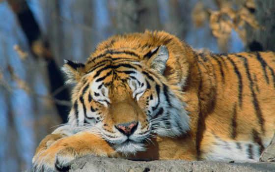 тигр, животные Фон № 6212 разрешение 1920x1200