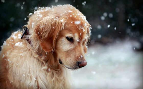 снег, зима, собака, masum, изображение, широкоформатные, картинка, собаки,