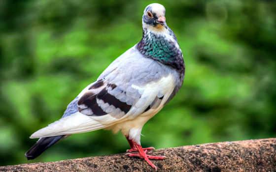 голубь, птица, birds