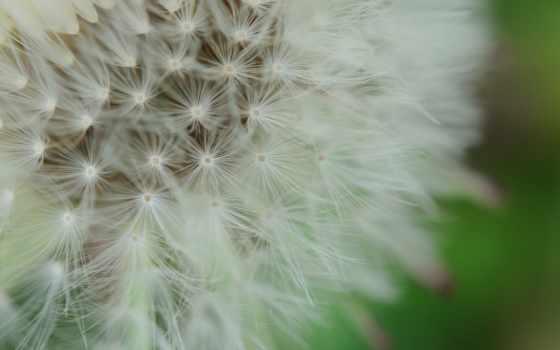 макро, цветы, одуванчик