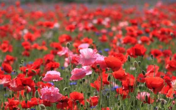полевые, cvety, розовые, яркие, маки, красные, алые,