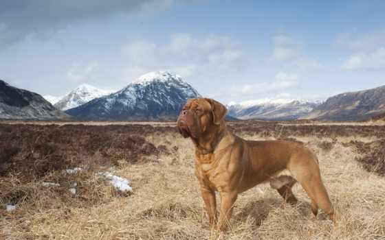 mastiff, бордоский, горы, собаки, природа,