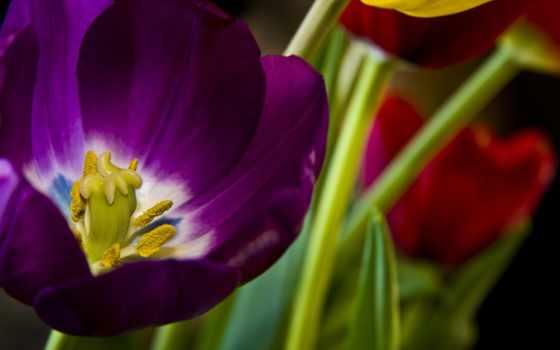 красивые, регистрации, тюльпан, cvety, бардовый,