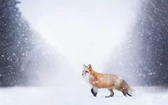 фокс, red, снег, картинка