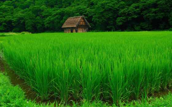 спокойствие, поле, зелёный, зеленое, greenery, лет, рис, drawing, rural