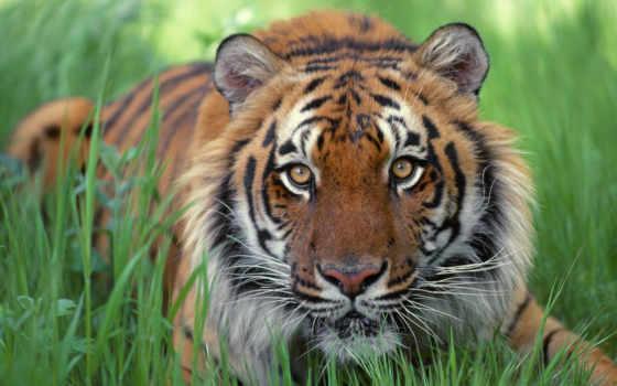 тигр, photo, sacramento, животные, тигры, тигра, морда, добрые, кустах, александр, александров, глаза, см, west, next, ваз, windows, бумага, рыжий, снимок, максимальное, качество, зелёных, animals,