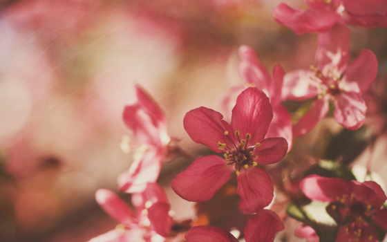 восточный, розовый, цветок, цветет,