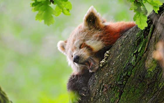 панда, красная, малая Фон № 51236 разрешение 4080x2710