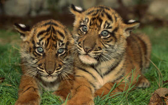 zhivotnye, тигры, тигренка