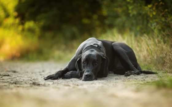 mastiff, german, видно, силе, истории, royal, креста, собаки,