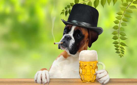 fondos, pantalla, perro, gratis, bóxer, cerveza, fotos, perros, sombrero, taza,