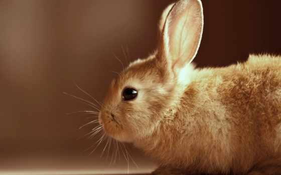 кролик, bunny, заяц, кроликов, качестве,