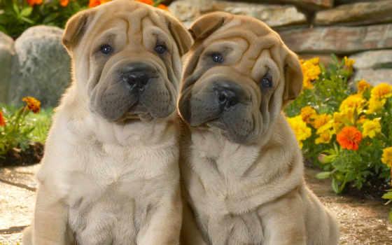 собак, породы, собака, маленькие, фотографий, мопс, шарпеи, пород, гладкошерстные, чау, дешевые,