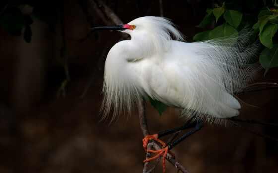 птица, white, цапля, bangau, long, buring, garza, water, дерево, бланки