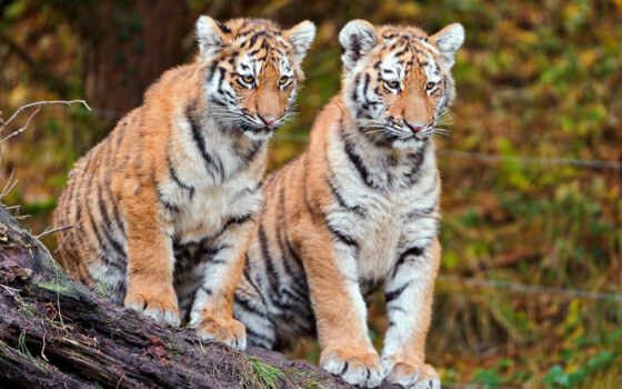 cubs, tiger