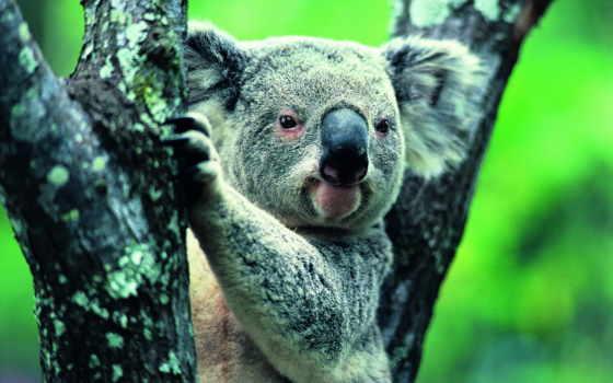 коала, фото, медведи, коалы, картинка, разрешениях, других, медведь,