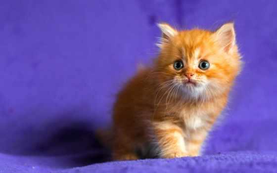 глазами, red, голубыми, котенок, кот, котят, рыжего,