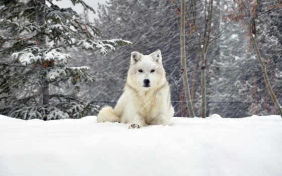 собака, снег