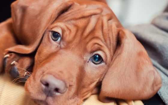 венгерская, выжла, size, собака, file, указатель, positive, зверский, щенок, кб,