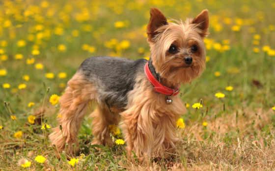 бультерьер, йоркширский, породы, собак, порода, собака, еще,