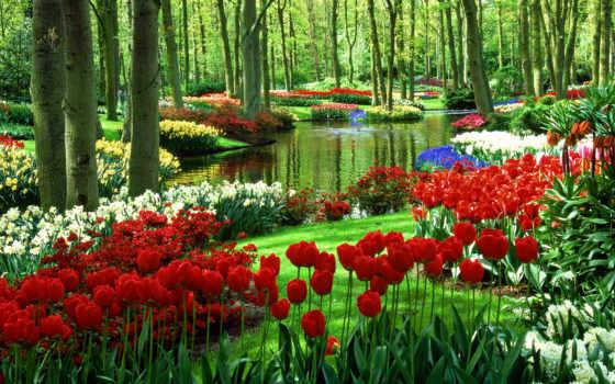 цветы, тюльпаны, нидерланды