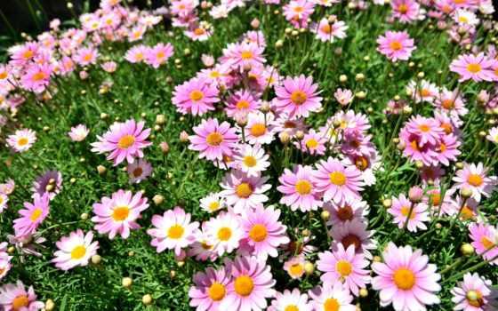 маргаритки, możesz, które, umieścić, цветы, pulpicie, wysokiej, jakośc, darmowe, tapety,