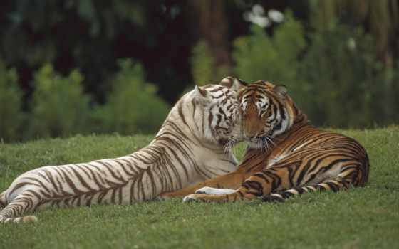 тигр, тигры, тигра, white, два, тиграми, разных, красивые, разрешениях, уже,
