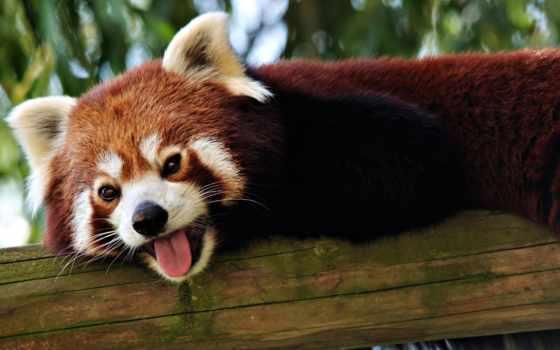 енот, красивые, язык, панды, красные, морда, browse, хорьки, трава,