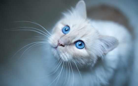 глаз, кот, blue, white, взгляд
