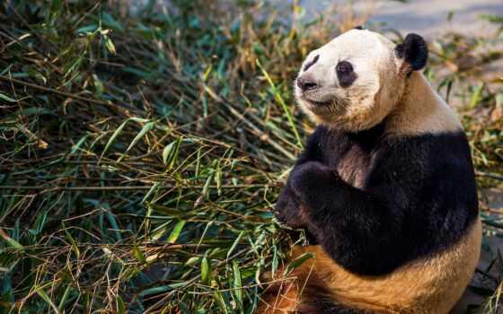 панда, медитация, бамбук, shut, глаз, sit, медведь, mode, лапа, branch